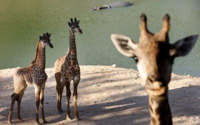 Giraffe au zoo biblique de Jérusalem (Crédit: Miriam Alster/Flash90)