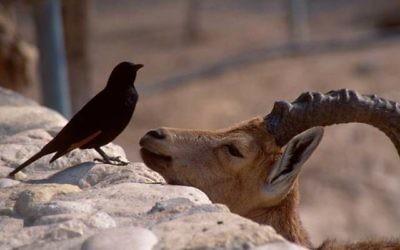 Un bouquetin et un Rufipenne de Tristram sur les rochers d'Ein Gedi (Crédit : Shmuel Bar-Am)