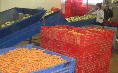 Des bénévoles trient les denrées dans l'entrepôt de Leket Israel. (Crédit : Ben Sales/JTA)