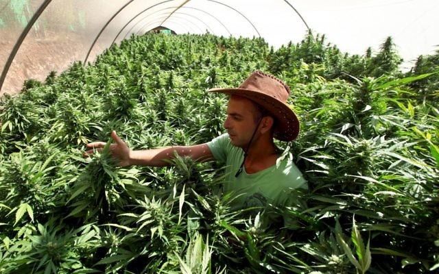 Un employé travaille dans ses plants de cannabis à la structure de production de  Tikun Olam, à proximité de Safed (Crédit :  Abir Sultan/Flash 90)