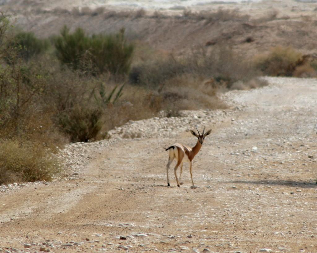 Gazelles of Beerotayim (photo credit: Shmuel Bar-Am)