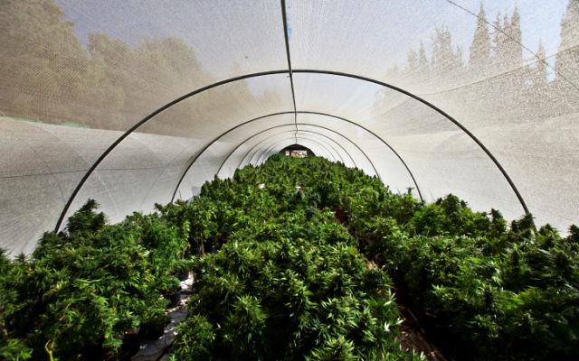 Des plants de cannabis dans une structure de production du nord d'Israël, en 2010. (Crédit: Abir Sultan/Flash 90)