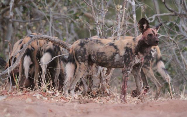 Des hyènes marchant dans la nature en Afrique, le 21 juillet 2011 (Crédit photo: Haim Shohat / Flash90)