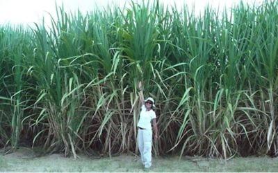 Un projet de canne à sucre au Pérou utilisant le système de Netafim (Crédit : Autorisation Netafim)