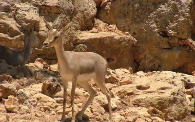 Une gazelle de montagne (Gazella gazella) au Zoo biblique de Jérusalem, 2006. (Crédit : CC BY SuperJew/Wikimedia Commons)