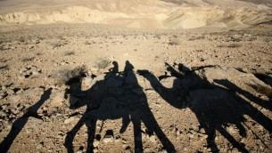 Des chameaux dans le désert (Crédit : Keren Freeman/Flash90)