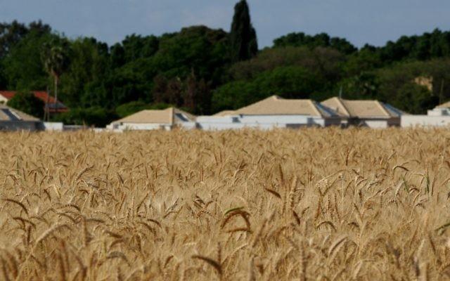 Un champ de blé près du Kibbutz Einat au centre d'Israël (Crédit : Moshe Shai/Flash90)