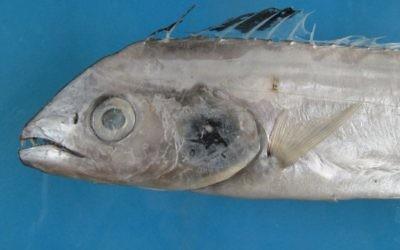 Une nouvelle espèce de poisson, découverte dans la mer Rouge sur la côte d'Eilat, 2013. (Crédit : Dani Golani)