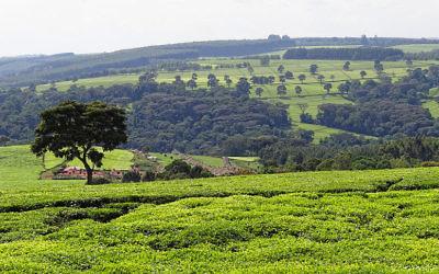 Plantations de thé, près de Kericho au Kenya (Crédit :Bjorn Christian Torissen/Wikimedia Commons/CC BY-SA 3.0)