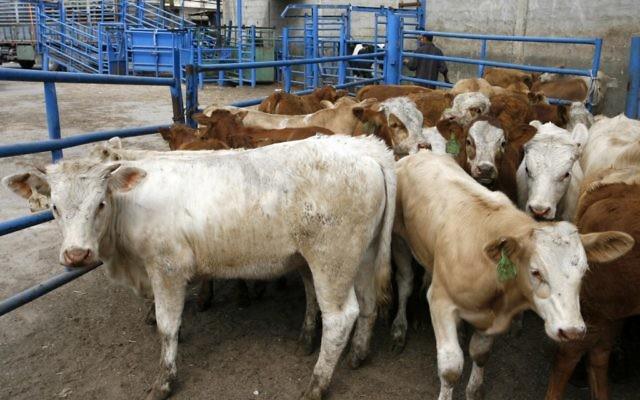 Une image illustrant du bétail (Crédit : Abed Rahim Khatib/Flash90)