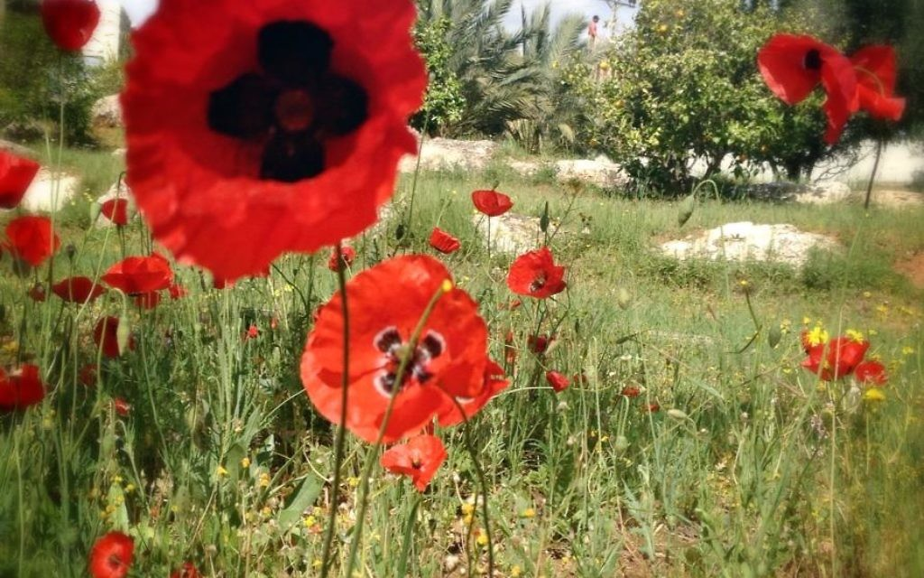 Des coquelicots en fleur (Crédit : Sarah Tuttle-Singer)