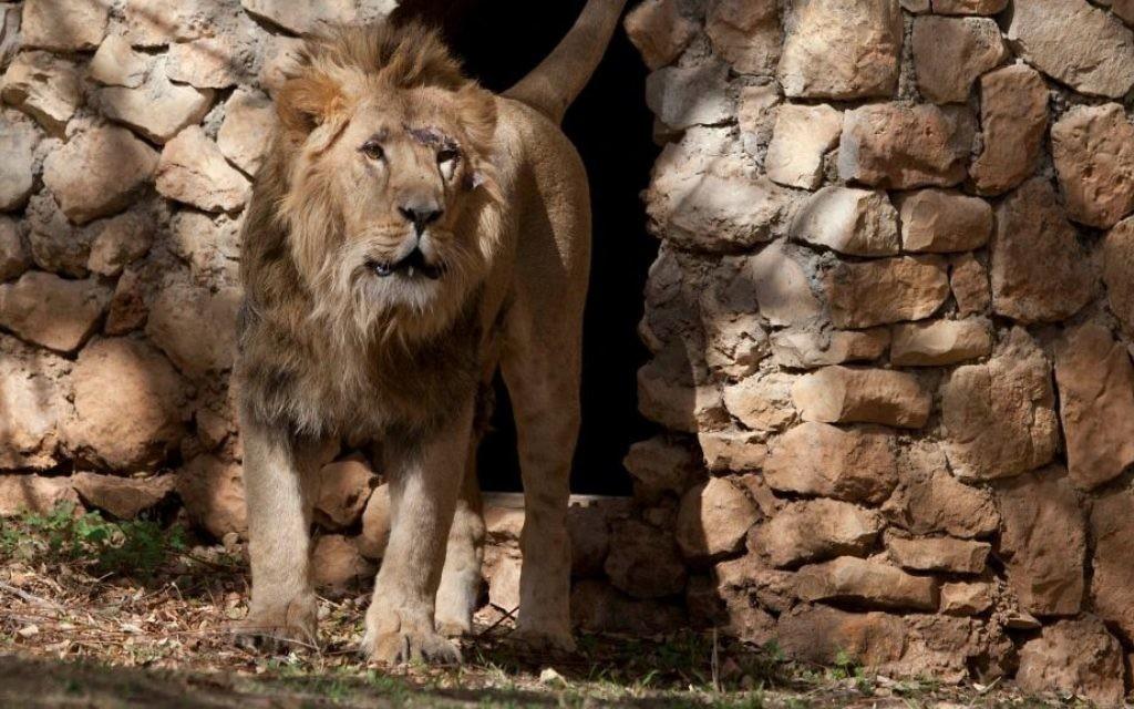 Le nouveau lion au zoo de Jérusalem (Crédit : Flash 90)