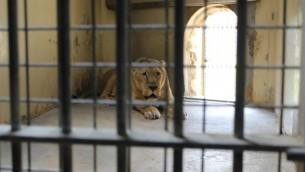 Lleniya, 16 ans elle est la lionne la plus vieille du zoo de Jerusalem (Crédit : Rebecca McKinsey/Times of Israel)
