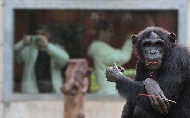 Un chimpanzé au zoo de Ramat Gan (Crédit : Shay Levy/Flash 90)