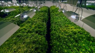 Des rangées de culture de marijuana (Crédit : autorisation)
