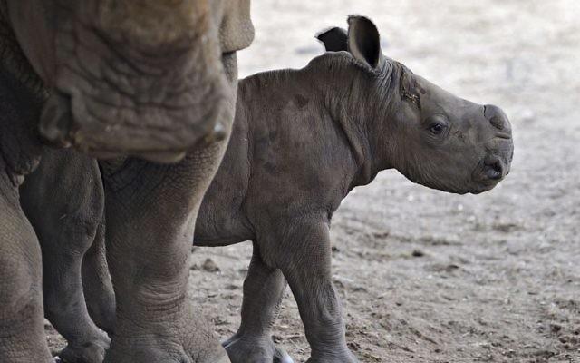 Un veau de rhinocéros femelle au zoo de Ramat Gan (Crédit : Tibor Jeger)