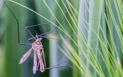 Illustration d'un moustique (Crédit : CC-BY 2.0 hofluk, Flickr)