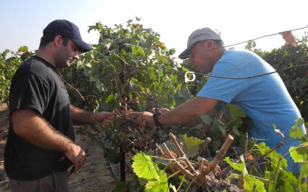Boaz Boyman, qui possède un vignoble à Tkuma dans le sud d'Israël, montre aux bénévoles de OneDay comment couper correctement les vignes. (Crédit : Melanie Lidman / Times of Israël)