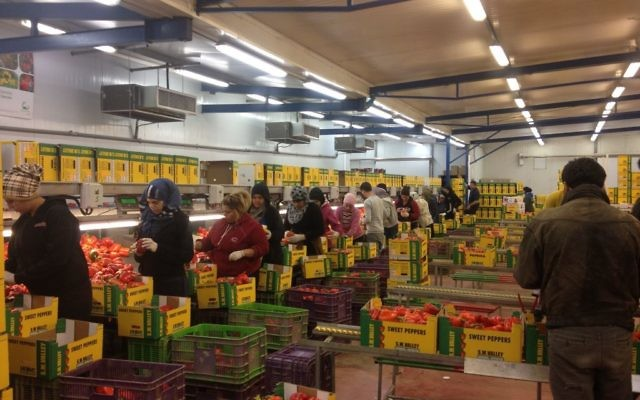 Travailleurs palestiniens de Jéricho à la ferme SM Valley (Crédit : Mitch Ginsburg/Times of Israel)