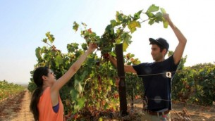 Netta Gal-On et Erel Segal, qui sont impliqués dans l'organisation d'événements OneDay, sont en train de tailler une vigne à Tekuma. (Crédit : Rony Shrem / OneDay bénévolat social)