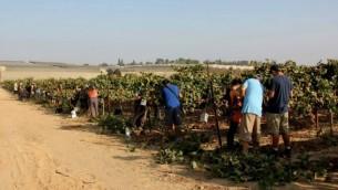 Plus de 40 bénévoles se sont rendus à Tekuma pour aider Boaz Boyman à tailler ses vignes avant l'année sabbatique. (Crédit : Rony Shrem / OneDay bénévolat social)