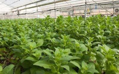 """Une serre de tomates de l'entreprise CollPlant qui sert à """"produire"""" du collagène humain (Crédit : Autorisation)"""