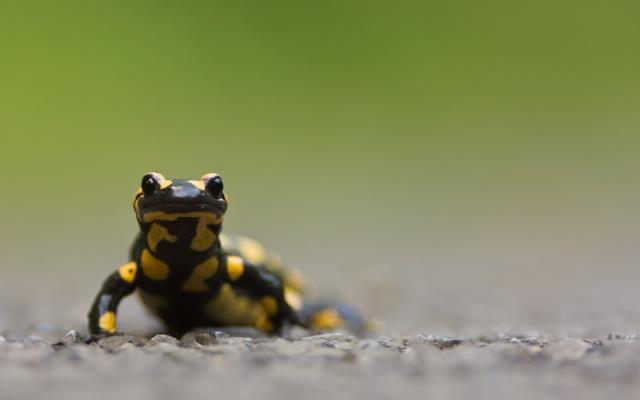 Salamandre tachetée (Crédit : Wikimedia commons ; CC-BY-SA-3.0)