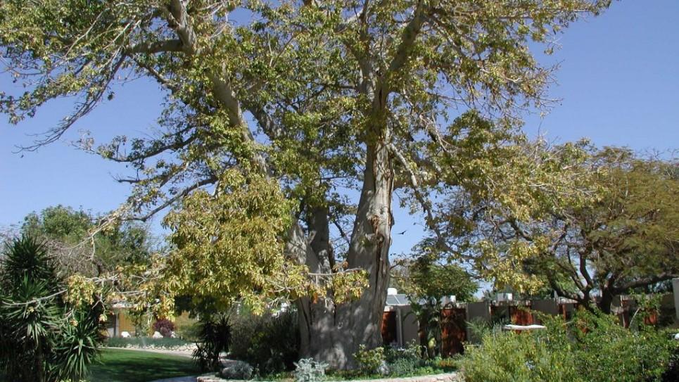 Le petit prince aurait aim les baobabs d ein gedi the for Baobab jardin