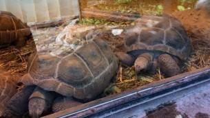 Les tortues géantes d'Aldabra au zoo biblique de Jérusalem seront transférés à la clinique du zoo si le système de chauffage électrique tombe en panne pendant la tempête de neige, 5 janvier 2015. (Crédit : Renee Ghert-Zand / Times of Israël)