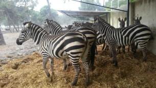 Les zèbres au zoo de Ramat Gan - 7 janvier 2015 (Crédit : Eran Habani)