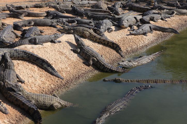 Une ferme de crocodile en Israël le 21 novembre 2011 (Crédit: Liron Almog/FLASH90)