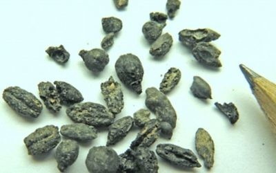 Des pépins de raisin carbonisés trouvés à Halutza pourraient aider à élucider le secret de fabrication d'un vin antique (Photo credit: Israel Antiquities Authority)