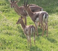 Les gazelles auront leur propre espace de liberté, sans accès aux visiteurs humains (Crédit : Amir Balaban)