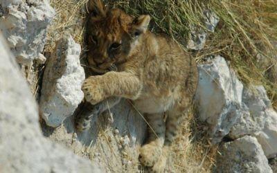 Un lionceau du Namibie Etosha National Park (Crédit : GIRAUD Patrick/GNU Free Documentation License/Wikimédia)