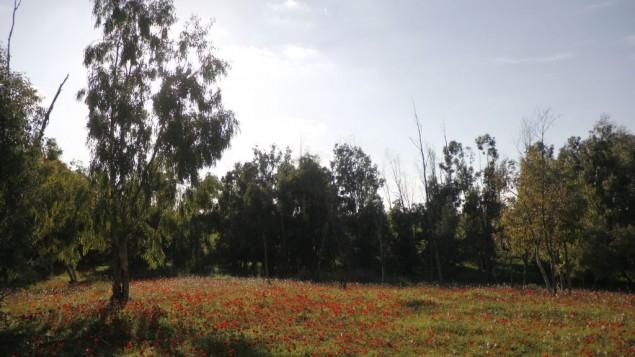A cause de la pluie au début de mois de novembre, les fleurs ont éclot deux semaines plus tôt, à la fin du mois de janvier (Crédit : Judah Ari Gross/Times of Israel)