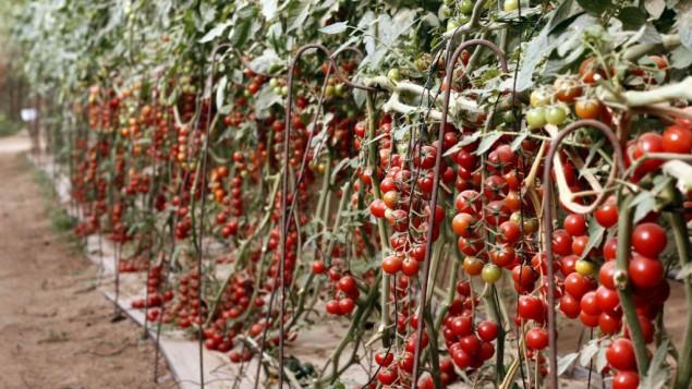 Uri Alon fait pousser 15 variétés différentes de tomates cerises (Crédit : Judah Ari Gross/TImes of Israel)