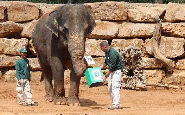 Un éléphant en train de voter au zoo biblique de Jérusalem le 17 mars 2015 (Crédit : Shai Ben Ami/Jerusalem Biblical Zoo)