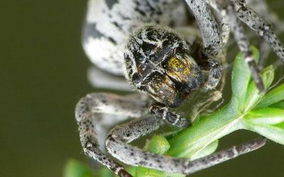 Photo illusrative d'un Stegodyphus lineatus, une araignée trouvée dans le Néguev d'Israël. (Crédit : Wikimedia Commons/JoaquinPortela)