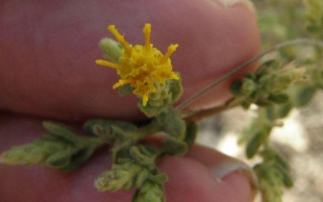 Le Chiliadenus Iphionoides, un arbuste du Moyen-Orient qui s'est révélé être efficace dans le traitement du diabète.  (CC BY-SA Eitan F., Wikimedia Commons)
