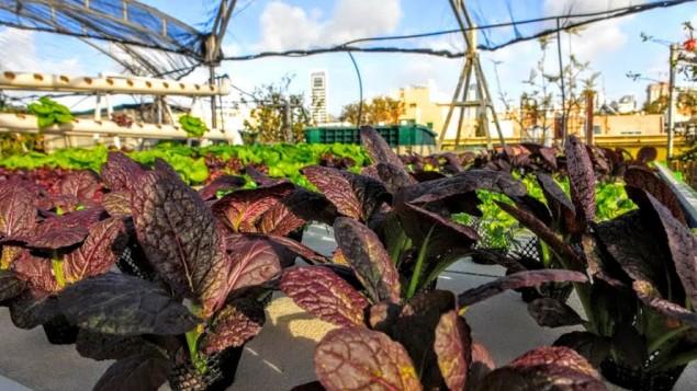 Falk envisage réseau de systèmes de culture hydroponique sur les toits qui pourrait fournir des légumes pour chaque quartier de Tel-Aviv. (Crédit : Autorisation de Green in the City)
