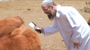 Un chercheur de l'Institut du Temple examine l'une des vaches rouges nées d'embryons congelés importés afin d'assurer que la vache n'a pas de poils blancs ou noirs, ce qui la rendrait impure. (Courtoisie Institut du Temple)