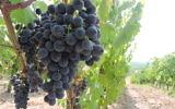 Terra di Seta est la seule cave entièrement casher dans la région de vinification du Chianti en Toscane. Son objectif est de produire des vins casher qui correspondent à la qualité des vins locaux qui y sont produites pendant des siècles (Crédit : Ben Ventes / JTA)