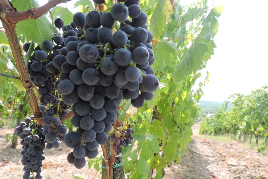 Terra di Seta est la seule  cave entièrement casher dans la région de vinification du Chianti en Toscane. Son objectif est de produire des vins casher qui correspondent à la qualité des vins locaux qui y sont produites pendant des siècles (Crédit : Ben Sales / JTA)