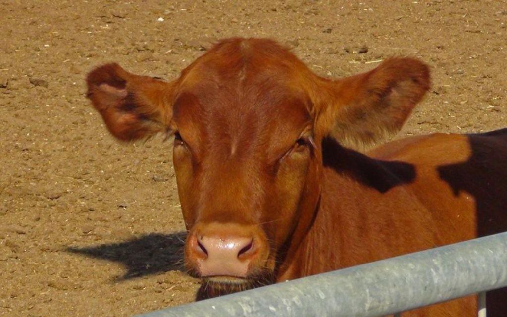 L'un des taureaux Red Angus nés à la ferme de l'Institut du Temple, dans un endroit inconnu en Israël. (Courtoisie Institut du Temple)
