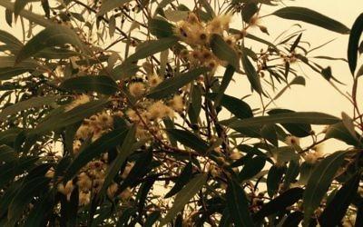 Les fleurs en forme de cloche du Lemon Mallee eucalyptus aide à la pollinisation (Photo: Jessica Steinberg / Times of Israel)