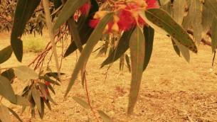 Le  gommier rouge , une des 80 espèces d'eucalyptus plantées chaque année en Israël (Jessica Steinberg / Times of Israel)