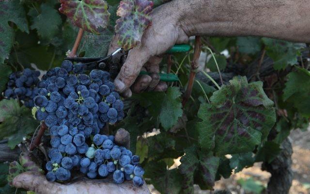 Photo de raisins (Crédit : Yaakov Naumi / Flash90)