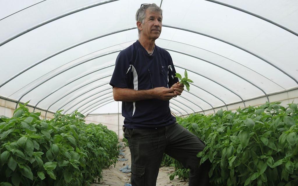 Inon Rosenblum dans une serre où il cultive le basilic. Il emploie 30 travailleurs palestiniens pendant la haute saison (Crédit : Melanie Lidman/Times of Israel)