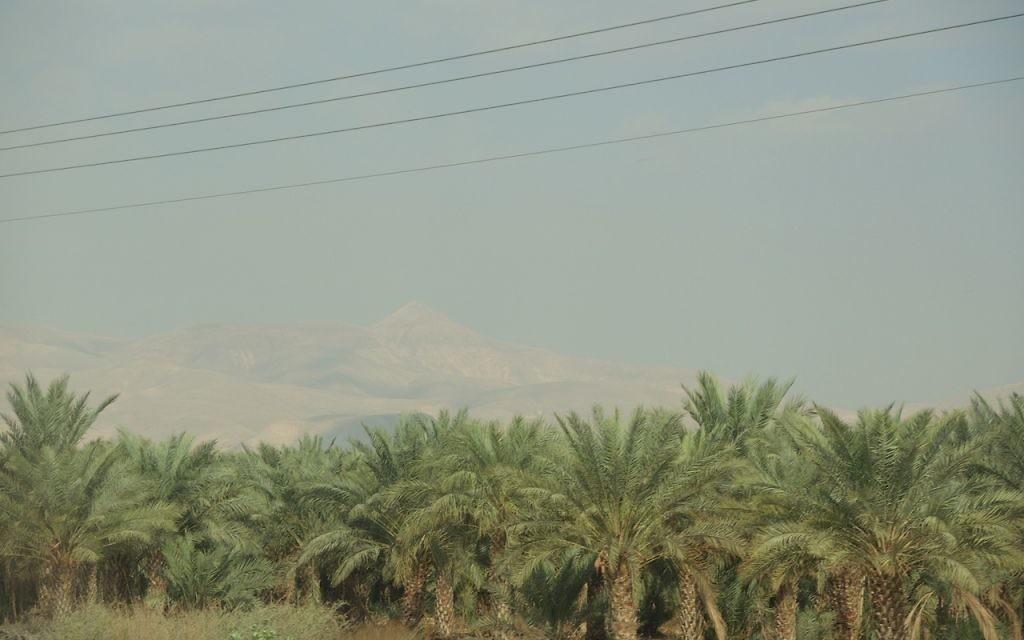 Les dattes sont le produit agricole n°1 dans la vallée du Jourdain. Israël et les territoires palestiniens représentent 40 % des exportations cumulatives de maidoul à travers le monde (Crédit : Melanie Lidman/Times of Israel)