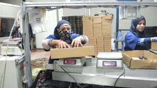 Les travailleurs d'Arbel Farms et l'usine d'emballage près de Masua qui emballent des dattes dans la vallée du Jourdain le 11 novembre 2015 (Crédit : Melanie Lidman/Times of Israel)